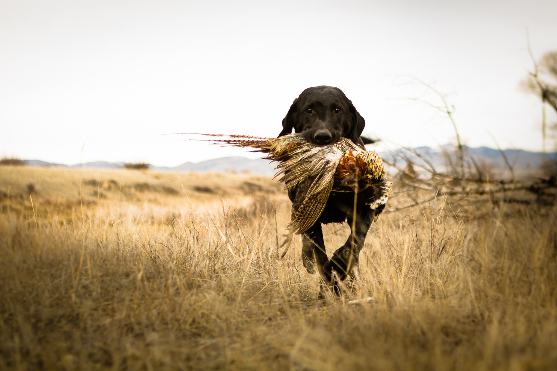DAP sport upland bird hunting pheasants retrieving Millie Orvis
